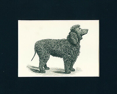 ANTIQUE Dog Print 1891 Irish Water Spaniel Dog