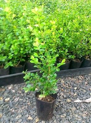 JAPANESE BOX Garden Hedge Border Plant 15 - 20cm high. Lots of 10 plants for $30