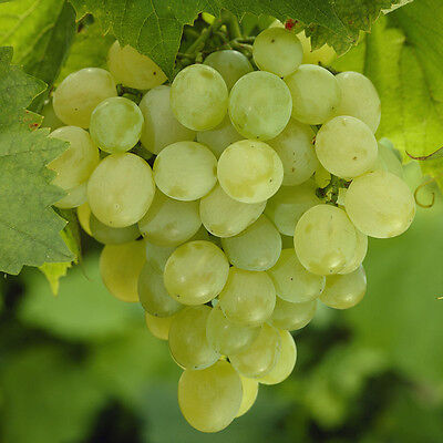 Grow Your Own Table Grape 'Superior Seedless' in a 5L Pot
