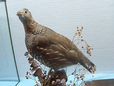 Vintage Quail Display Mount In Glass Case