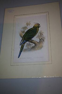 Antique Cassell cromo-litho of The Ground Parrakeet
