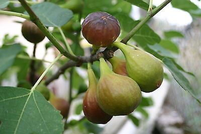 Large Fig Tree 'Brown Turkey' 3ft Tall in a 5L Pot. Ready to Fruit, Sweet Taste