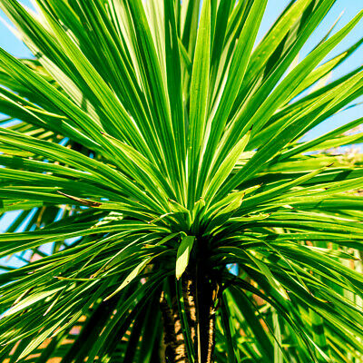 2 Cordyline Australis Plants / Cabbage Palm Trees, 40-60cm Tall in a 2L Pots