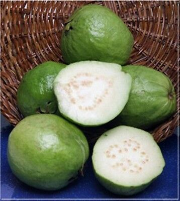 Indian White Guava, 50 + Fresh Seeds, Easy To Grow Compact Fruit Tree