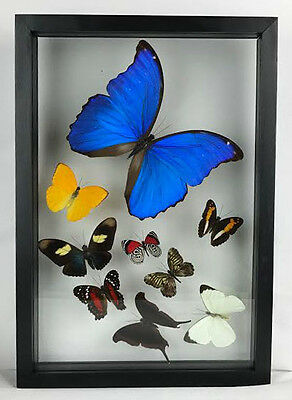 """09 Real butterflies, mounted in wood frame 8.5"""" x 12.5"""" inches. BEAUTIFUL."""