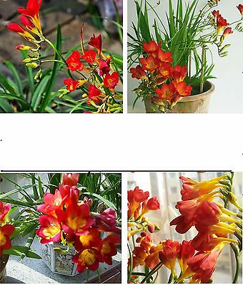 25 x Red-and yellow Freesia Orchid rooms-garden Flowers Plant Seeds rare #71