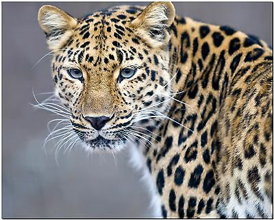 Leopard Africa Wildlife Cat High Quality Canvas Print Poster 8X10""