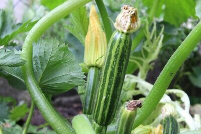 ZUCCHINI 'Cocozelle' 10 seeds ORGANIC vegetable garden squash STRIPED heirloom