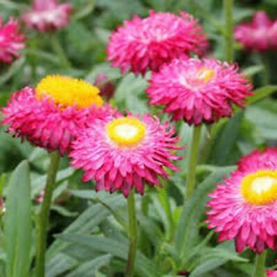 PAPER DAISY 250+ seeds NATIVE Strawflower Everlasting Daisy HELICHRYSUM flower