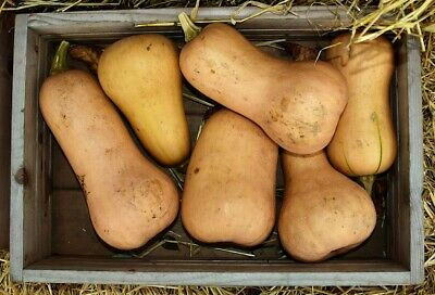 PUMPKIN 'Butternut' 12+ seeds vegetable garden PRODUCTIVE easy to grow squash
