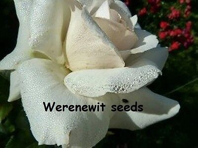 Special 20 X White Bush Rose Seeds,free Post,aussie Seller