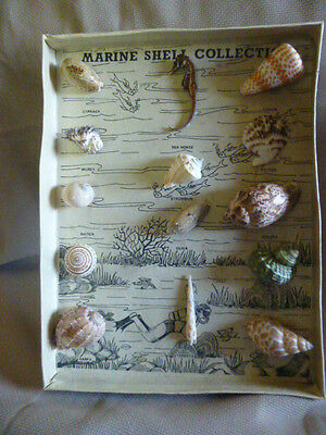 Marine Shell Collection in Shadowbox
