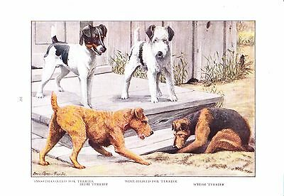 1919 Vintage Dog Print ~ Irish Fox Welsh Terriers Painting ~ a/s Louis Fuertes