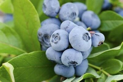 Florida Blueberry (25 seeds) fresh this season's harvest from my garden