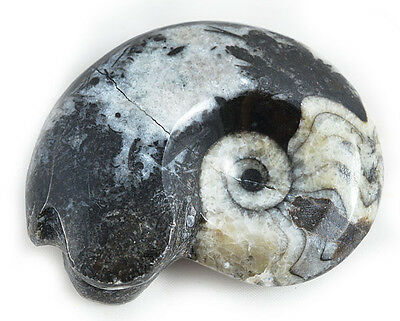 Goniatite Ammonites Cephalopods Fossil Gift Squid Octopus Goniatids Sea Stone
