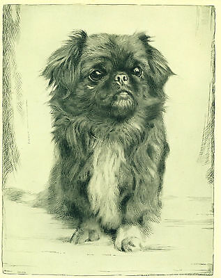 Dog Art Print 1935 Pekingese Dog with Very Expressive Eyes VINTAGE