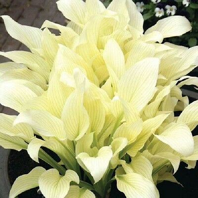 White Feather Hosta  Note Shipping Will Not Be Until The Fall Of 2017