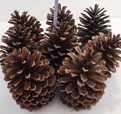 """*8 PINE CONES Natural Large 5"""" - 5 3/4 """" High ~ 3 1/2 """"- 3 3/4"""" wide ~ Crafts"""