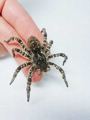 A real dried spider Lycosa singoriensis from Ukraine Large exemplar