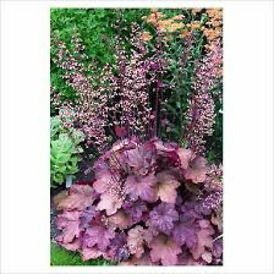 HEUCHERA BEAUJOLAIS bright copper and purple foliage - Plug Plant
