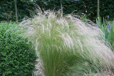 Stipa Tennuisimma Pony Tails Mexican Feather Grass  Sun Loving Garden Container