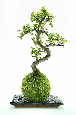 Bonsai tree- Chinese  Elm Kokedama  with blue dish and slate - 30cm high