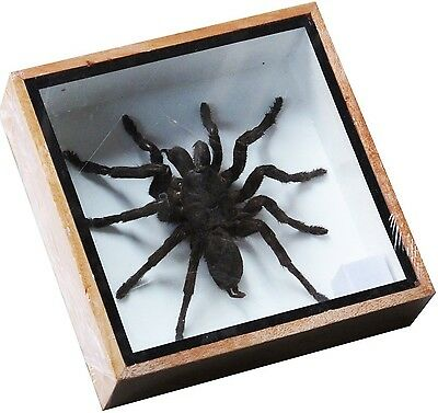 Real Giant Bird Eating Tarantula Eurypeima Spincrus Spider Taxidermy Boxed Di...