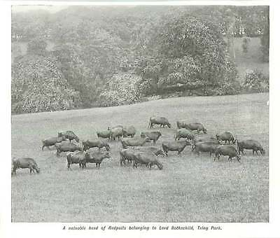 1908 A Valuable Herd Of Redpolls Belonging To Lord Rothschild, Tring Park