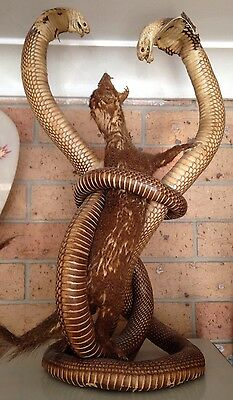 Taxidermy 2x Cobra Snakes & Mongoose