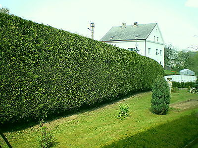52 Leyland Cypress / Green Leylandii 1-2ft Tall in 9cm Pots, Evergreen Hedging