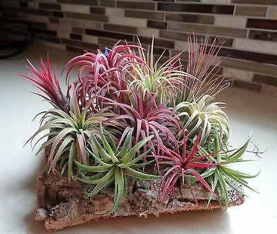 HOT 100 Pcs Rare Assorted Tillandsia Ionantha Nice Air Plants Seeds