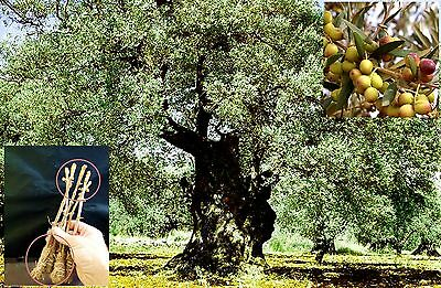 """5 Green Olive """"ARBEQUINA"""" Tree Cutting + 40 """"ARBEQUINA"""" seeds"""