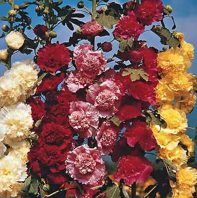 10x Hollyhock Mix Flowers Roses Seeds Flower Plant Rose RARE NEW Seed #118