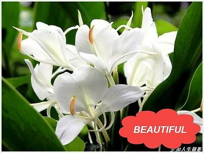 10pcs CANNA LILY SEEDS - ERMINE - TROPICAL HOUSE PLANT - WHITE FLOWERS Garden