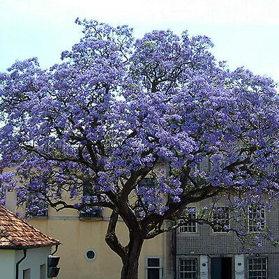 CHIC Worlds Fastest Growing 100X Seeds Paulownia Princess Tree Blue Flowers Yard