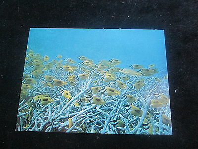 Foxface rabbit fish    (Western Pacific)                  Card