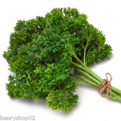 New Pack Parsley 'Plain or French' Garden Herb Seeds Suffolk Herbs