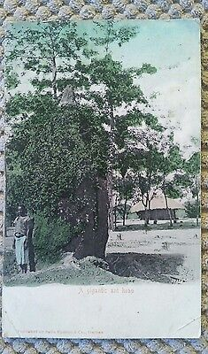 Vintage Transvaal Postcard Of A Gigantic Ant Heap 1905