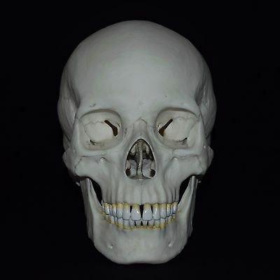 Human Male European Adult Skull Replica (Real Size) Ca121
