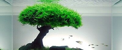 CHRISTMAS MOSS 5g 4 x 3cm rare aquarium fish carpet plant  bogwood nano