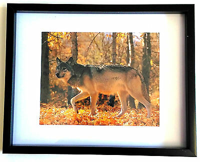 """Framed WOLF IN AUTUMN 8""""x10"""" Art Print Wall Hanging Home Decor"""