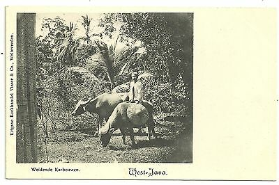 Indonesia postcard  West Java Ethnic Weidende Karbouwen
