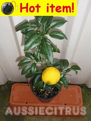 VERY RARE,YUZU,GRAFTED,Citrus,Tropical,Spice,Herb,Fruit Tree,Antioxidant,Chinese