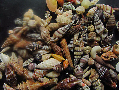 Assorted small shells - 5-34mm