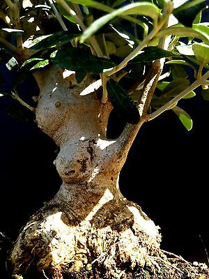 Olive tree - Bonsai - approximately 30 years old