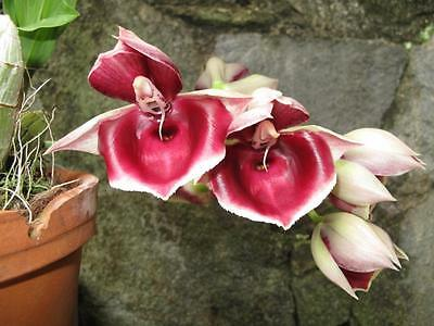 Catasetum imperiale x socco *Awesome Primary Hybrid* Orchids