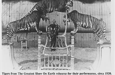 1920 Press Photo Tigers perform in the Ringling Brothers Circus.