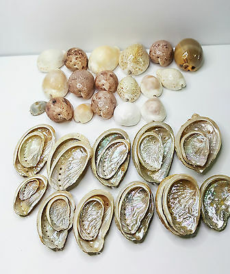 Small Natural Abalone Sea Shells & Other Shells