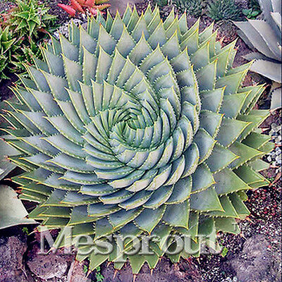 100pcs NEW Spiral Aloe Seeds Succulent Exotic,RARE MESA Aloe polyphylla rotation