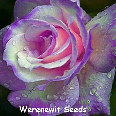 20 x NEW RARE EXOTIC PURPLE-PINK HEART GERMAN DRAGON ROSE SEEDS,FREE POST.